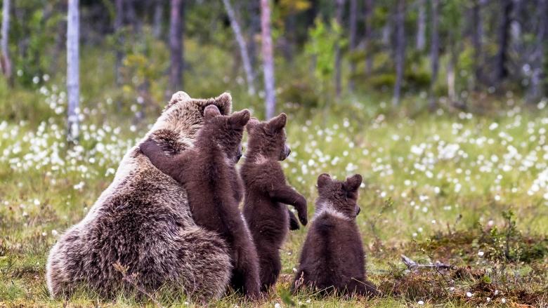 Karhuemo ja kolme pentua istuvat selät kuvaan päin suolla. Pennut ovat emossa kiinni ja kaksi niistä on takajaloillaan.
