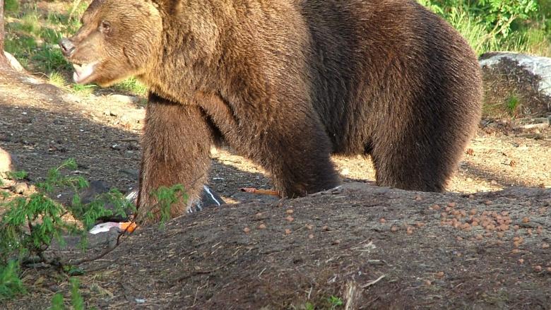 Karhu aurinkoisessa metsässä.