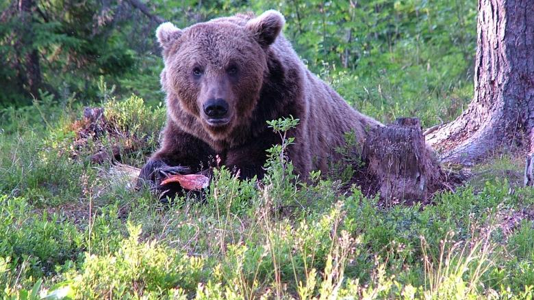 Björnen ligger i skogen.