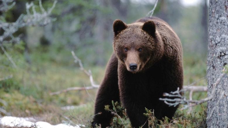 Karhu katsoo tuimasti kameraa kohti metsässä.
