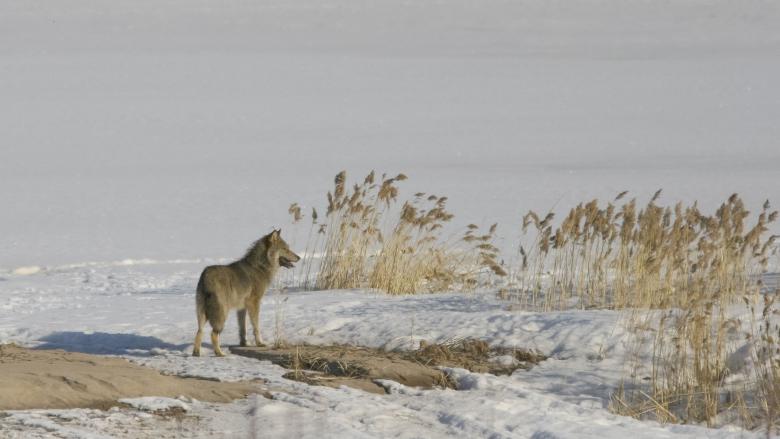 En varg står på en snöig sjö mitt bland vassen