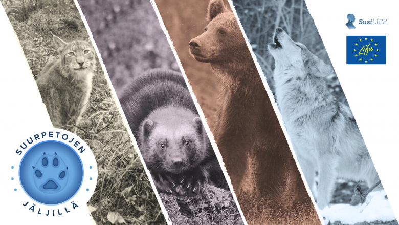 Suomen neljä suurpetoa: karhu, ilves, ahma ja susi. Kuvassa on myös Suurpetojen jäljillä -oppimateriaalin logo, SusiLIFE-hankkeen logo ja EU LIFE-hankkeen logo.