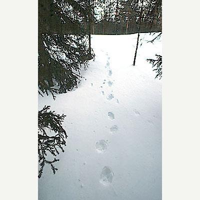 Järvens fyrspåriga galoppspår på snön i skogsterräng.