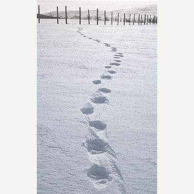 Järvens typiska trespåriga spår ovanpå snön. Tre svagt böjda mönster efter varandra i snön, upprepas om och om igen.