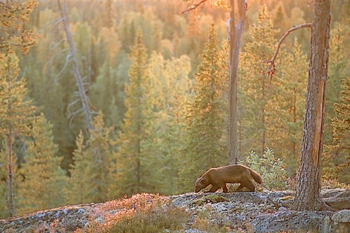 Ahma kävelee syksyisellä metsäkalliolla auringonlaskun aikaan.