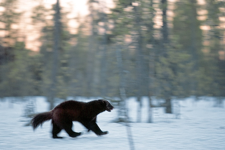 Ahma juoksee lumisessa metsässä.