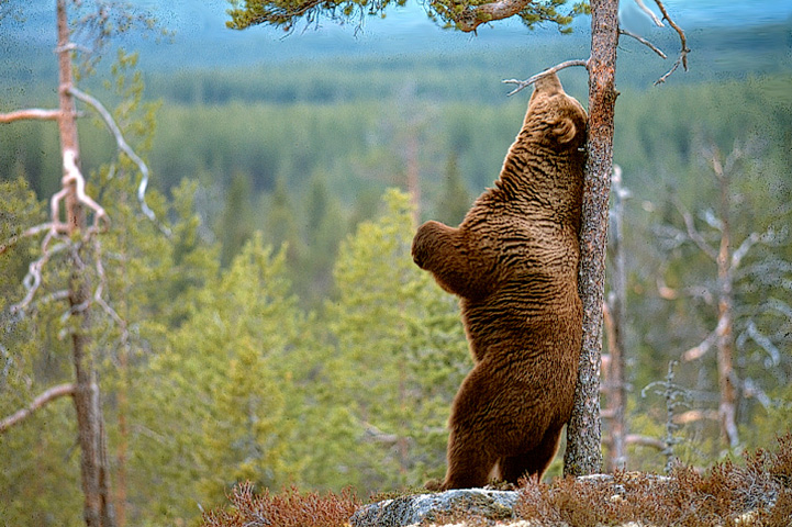 Karhu rapsuttaa selkää puuta vasten