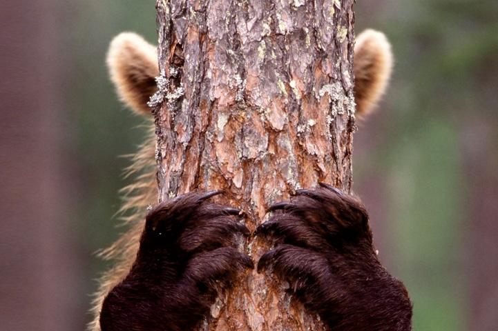 Karhu on piilossa puun rungon takana, vain korvat ja etukäpälät näkyvät.