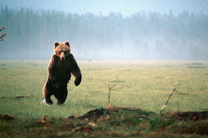 Karhu seisoo uhkaavasti takajaloillaan vetisellä suolla.