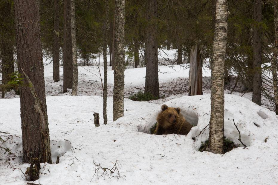 Herääminen talvipesästä. Karhu kurkkaa koivujen keskellä olevan lumikumpareen kolosta.