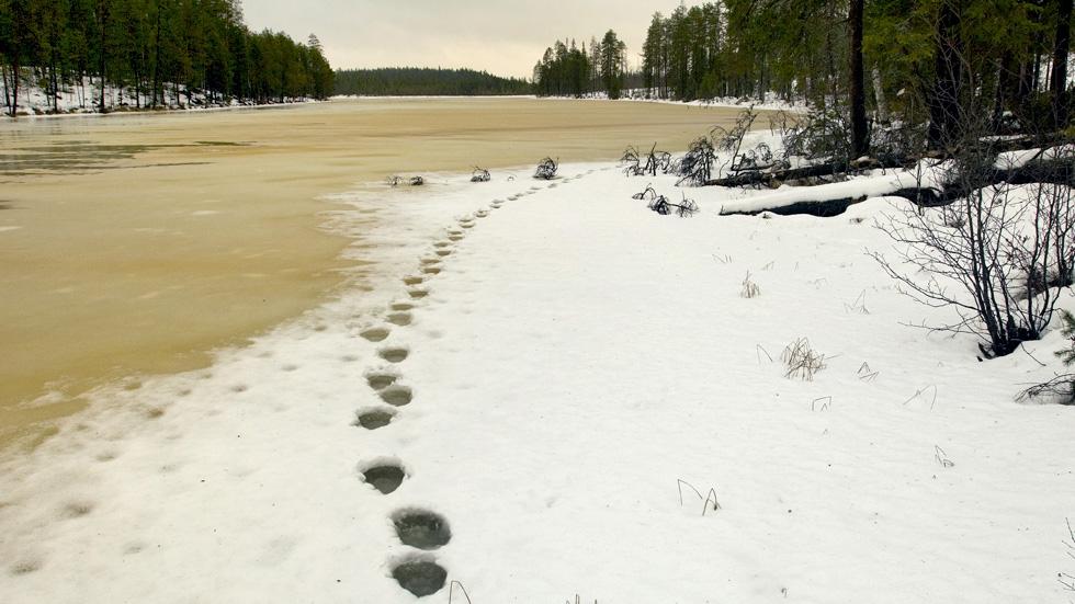 Karhun jäljet sohjoisella jäällä lähellä rantaa.