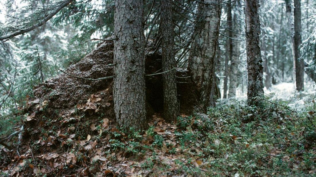 Karhun pesä syksyisessä metsässä ensilumen aikaan.