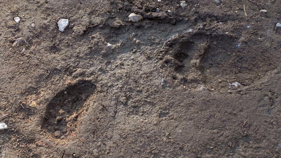 Kaksi karhun tassunjälkeä painautuneena hiekkaan.
