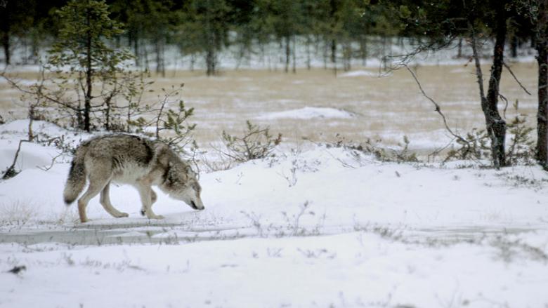 Susi haistelee maata talvimaisemassa.