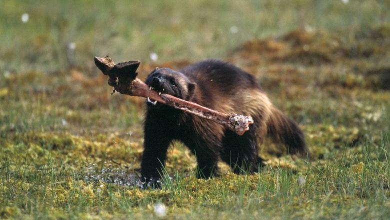 Ahma juoksee hirven sorkkaluu suussaan.