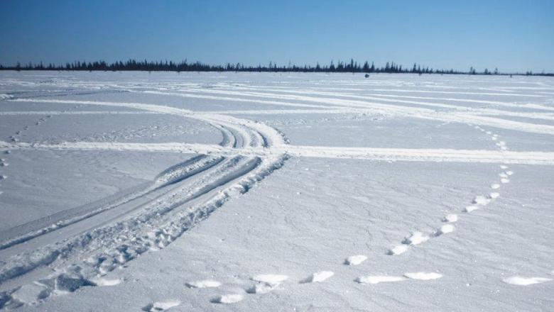 En snödriva med många snöskoterspår och två spår av järv.
