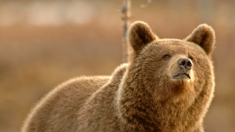 Karhu (Ursus arctos) on Euroopan suurin petoeläin. Puolikuvassa karhu on soulla ja katsoo ylöspäin.