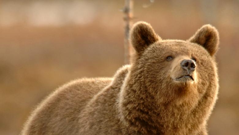 Björnen är Europas storaste rovdjur. I bilden björnen tittar uppåt.
