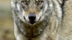 Lähikuvassa susi katsoo kiinteästi kohti.