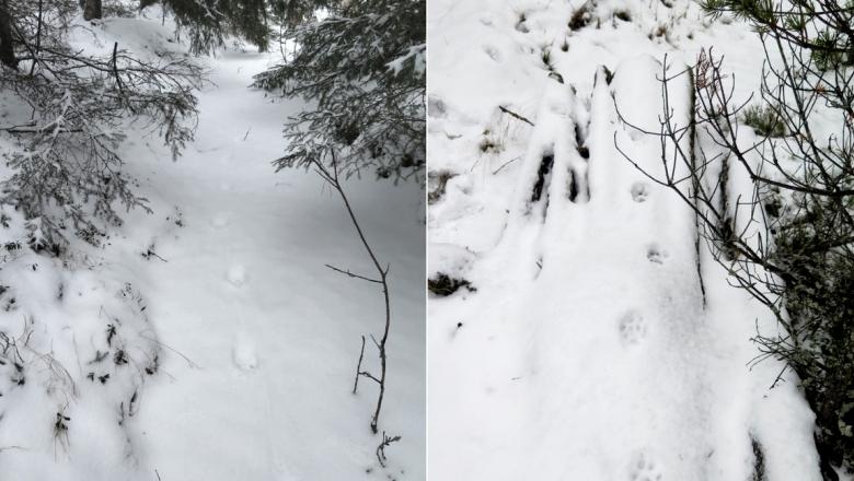 Kaksi kuvaa vierekkäin. Molemmissa ilveksen jälkinauha, jossa tassut ovat astuneet lähes samassa linjassa.