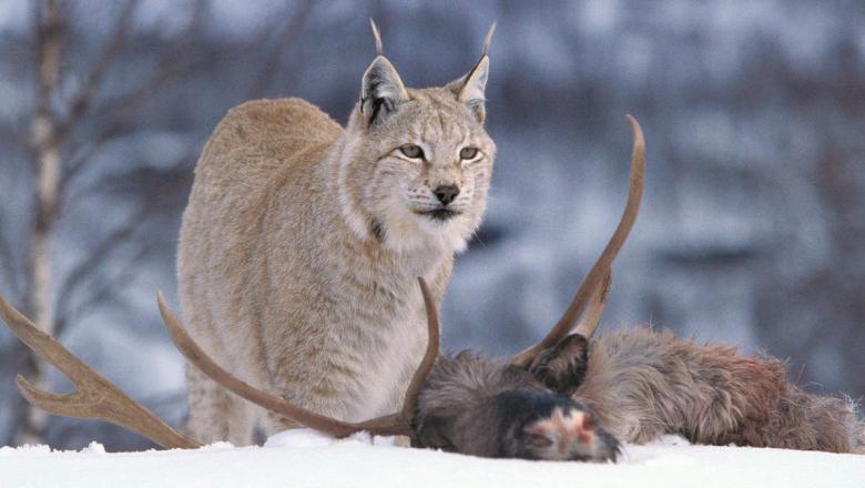 Ett lodjur bredvid ett hjortdjur det fångat.