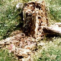 Karhun Raapima Puu