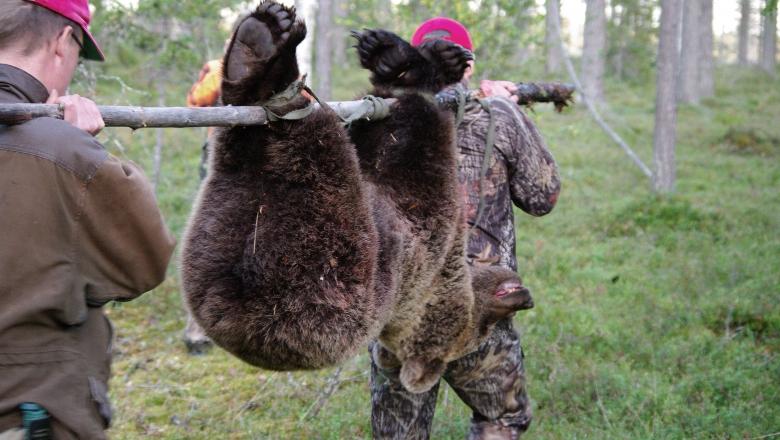 Två mannen bär en sköt björn i skogen.