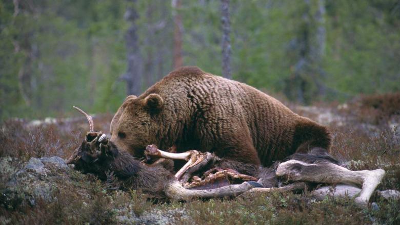 Björnen ligger på ödemarken och äter den.