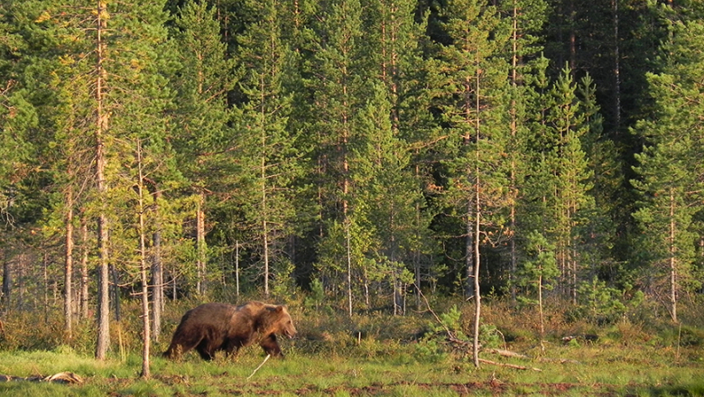 Björnen går i kvällssolen vid skogskanten.