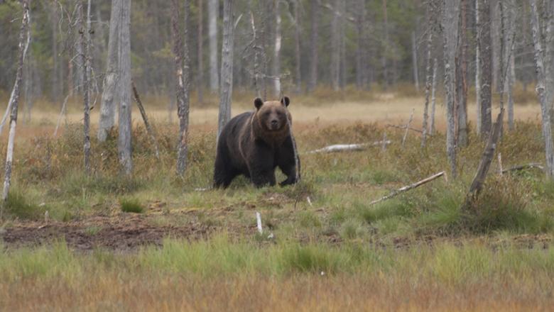En stor brunbjörn tittar rakt på betraktaren. I bakgrunden en barrträdsbevuxen myr.