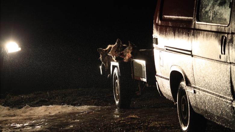 Tre fällda vargar på släpvagn.