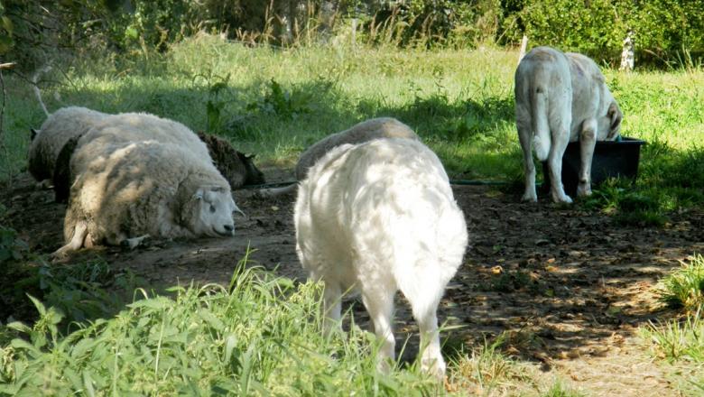 Kolme lammasta makoilee nurmella. Kaksi laumanvartijakoiraa seisoo niiden luona.