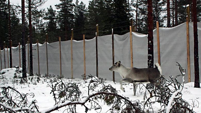 Metsäpeura juoksee lumisessa metsässä korkean aitauksen vierellä.