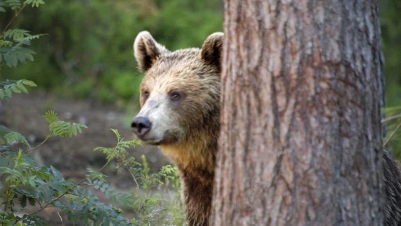 Karhu kurkistaa männyn takaa.