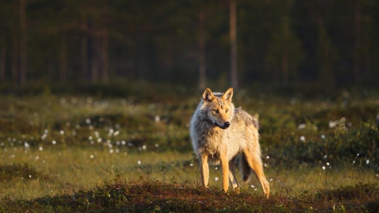 Kohti katsova susi seisoo suolla.