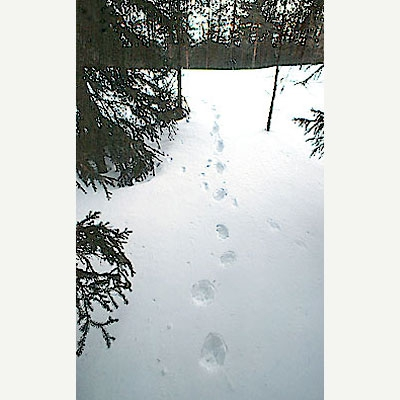 Ahman nelijälkinen laukkajälki lumella metsämaastossa.