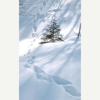 Ahman jälkipainaumat paksussa lumessa pienen kuusen ohi.