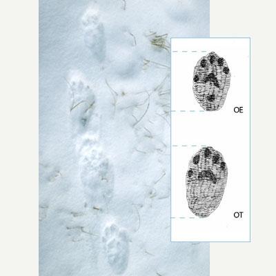 Ahman lumijäljissä on viiden varpaan painallukset. Valokuvan vieressä piirroskuva havainnollistamassa jälkiä.