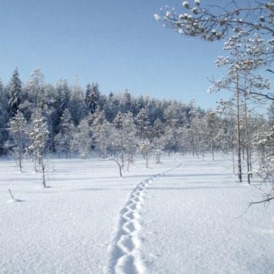 Ahman hyppimisjäljet pehmeässä lumessa suomaisemassa. Taustalla metsä.