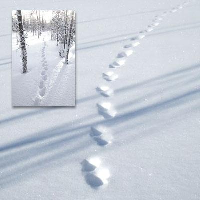 Ahman parihyppyjäljet lumessa. Toisessa pienemmässä kuvassa samantyyppiset jäljet metsämaisemassa.