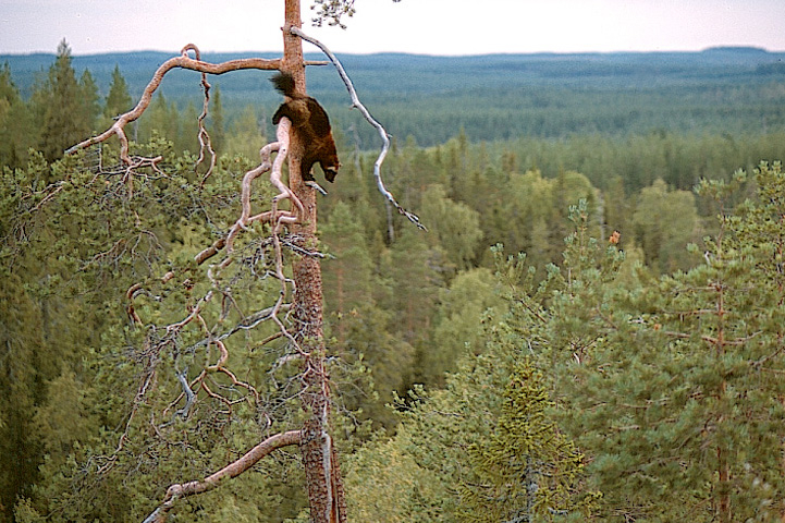 Ahma laskeutuu korkean männyn runkoa pitkin. Taustalla metsää.