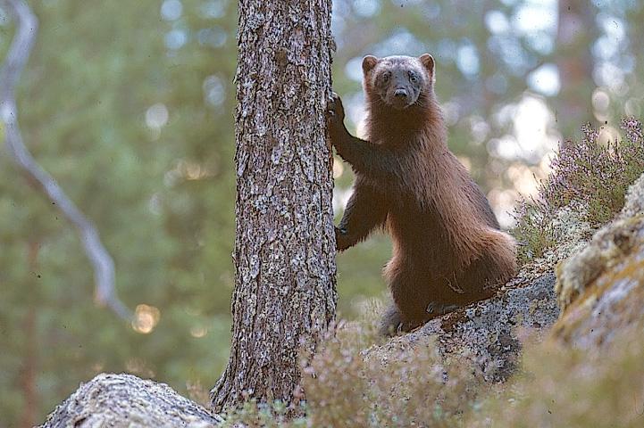 Ahma seisoo metsäjyrkänteellä ja nojaa etutassuilla kuusen runkoa vasten. Ahma katsoo uteliaasti kohti.