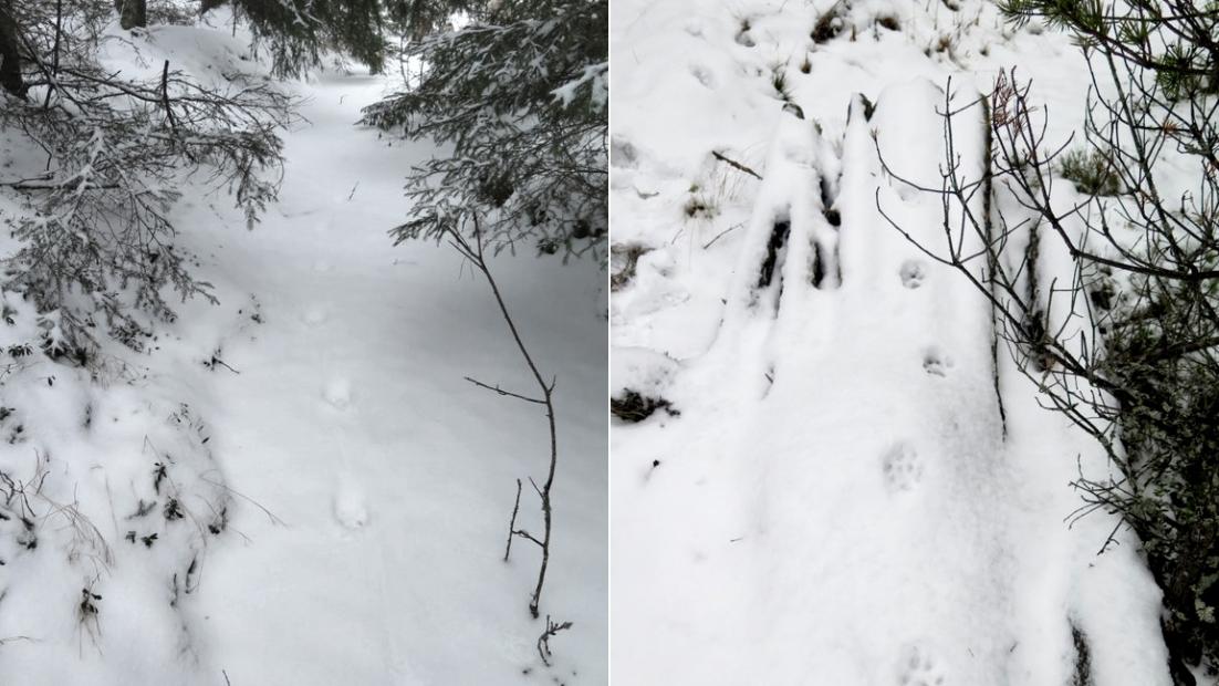 Kaksi kuvaa vierekkäin. Molemmissa lumessa ilveksen jälkinauha, jossa tassut ovat astuneet lähes samassa linjassa.