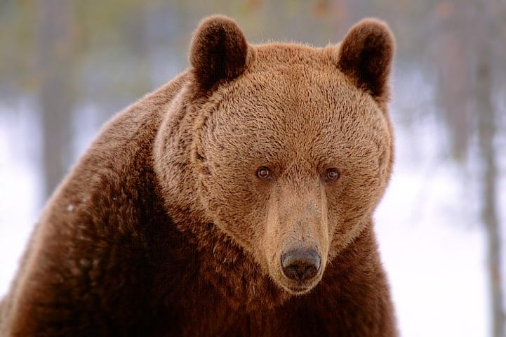En brunbjörns ansikte