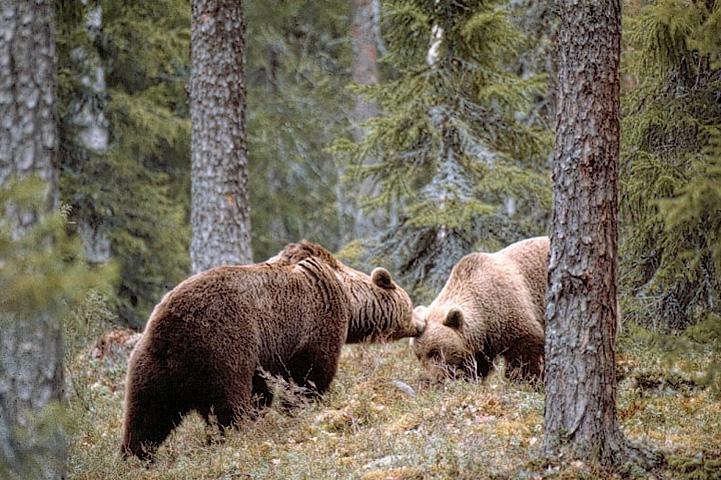 Björnpar som lär känna varandra i en skog