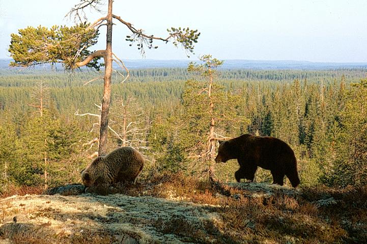 Två björnar trampar på mossan