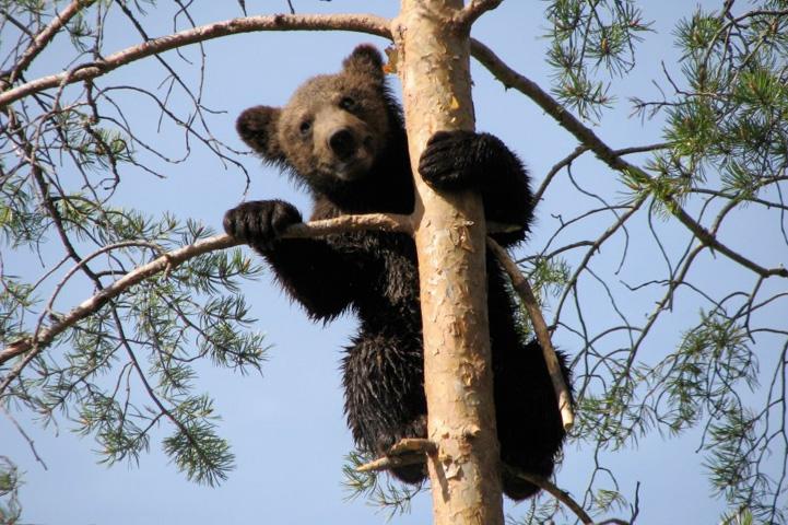 Björnungen är i ett träd och kikar bakom en gren.