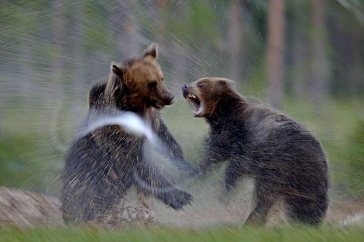 Två björnar slåss i träsket, vattnet stänker.