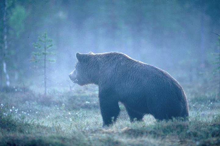 Björnen i en dimmig träsk.