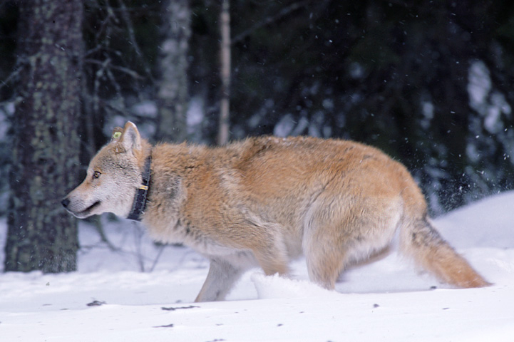 GPS-pannoitettu susi juoksee lumessa.